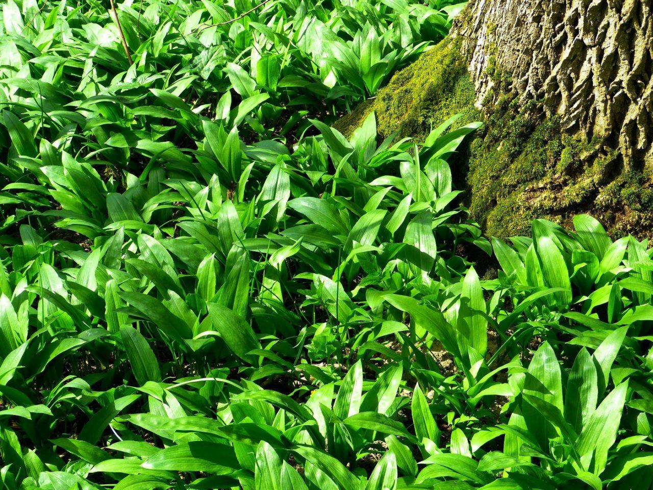 Biljke koje nisu dobre za konzumaciju lose utjecu na disni centar