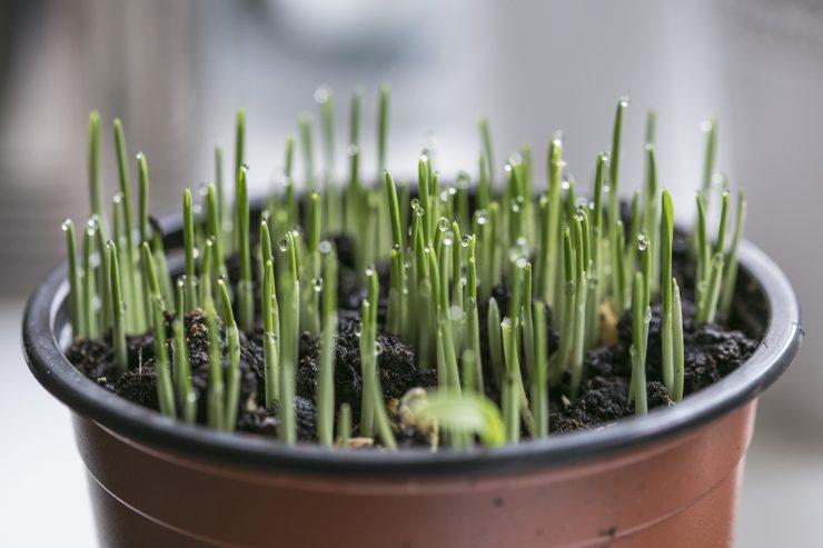 Biljke koje smanjuju nadrazaj disnih organa i ublazuju kasalj Ljekovito bilje