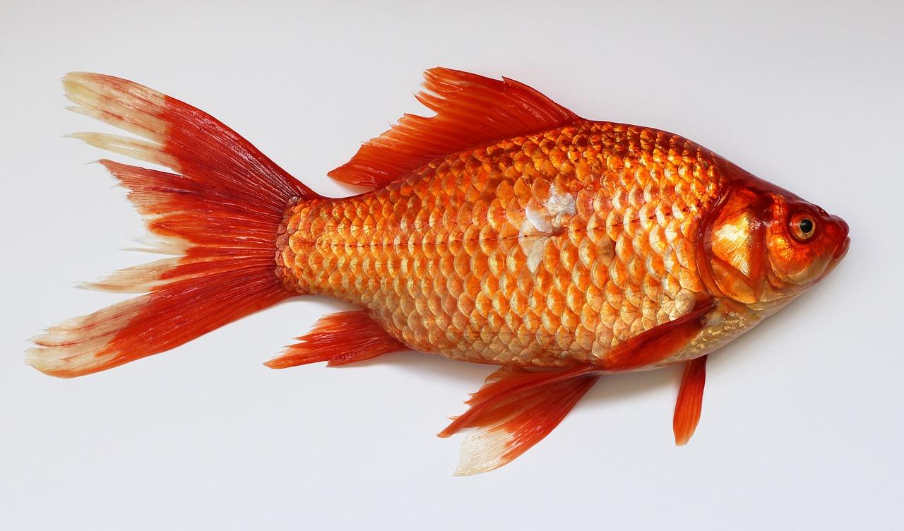 Kako čuju ribe i kako su im razvijena slušna osjetila