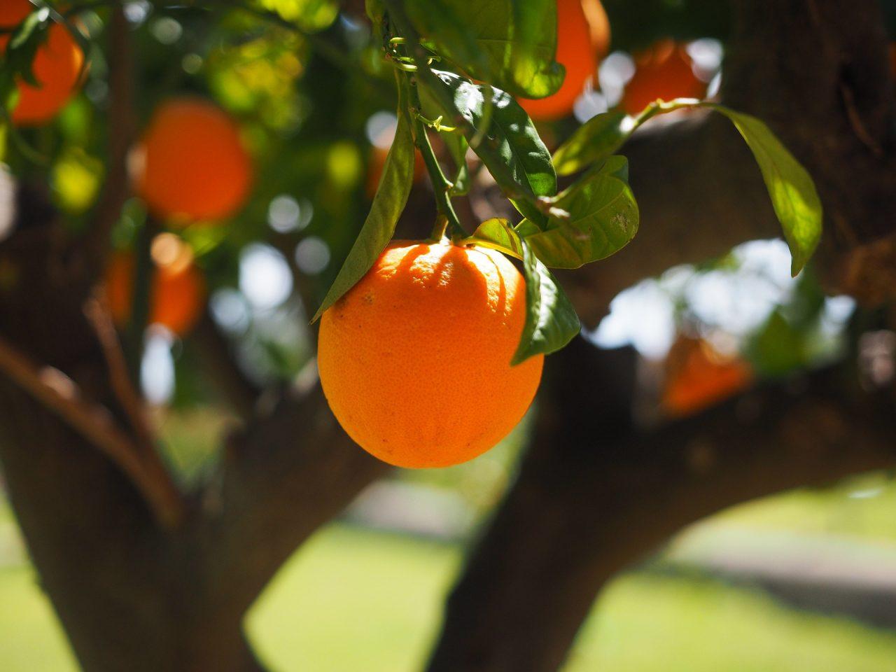 Kako njegovati stablo narance Uzgoj naranci