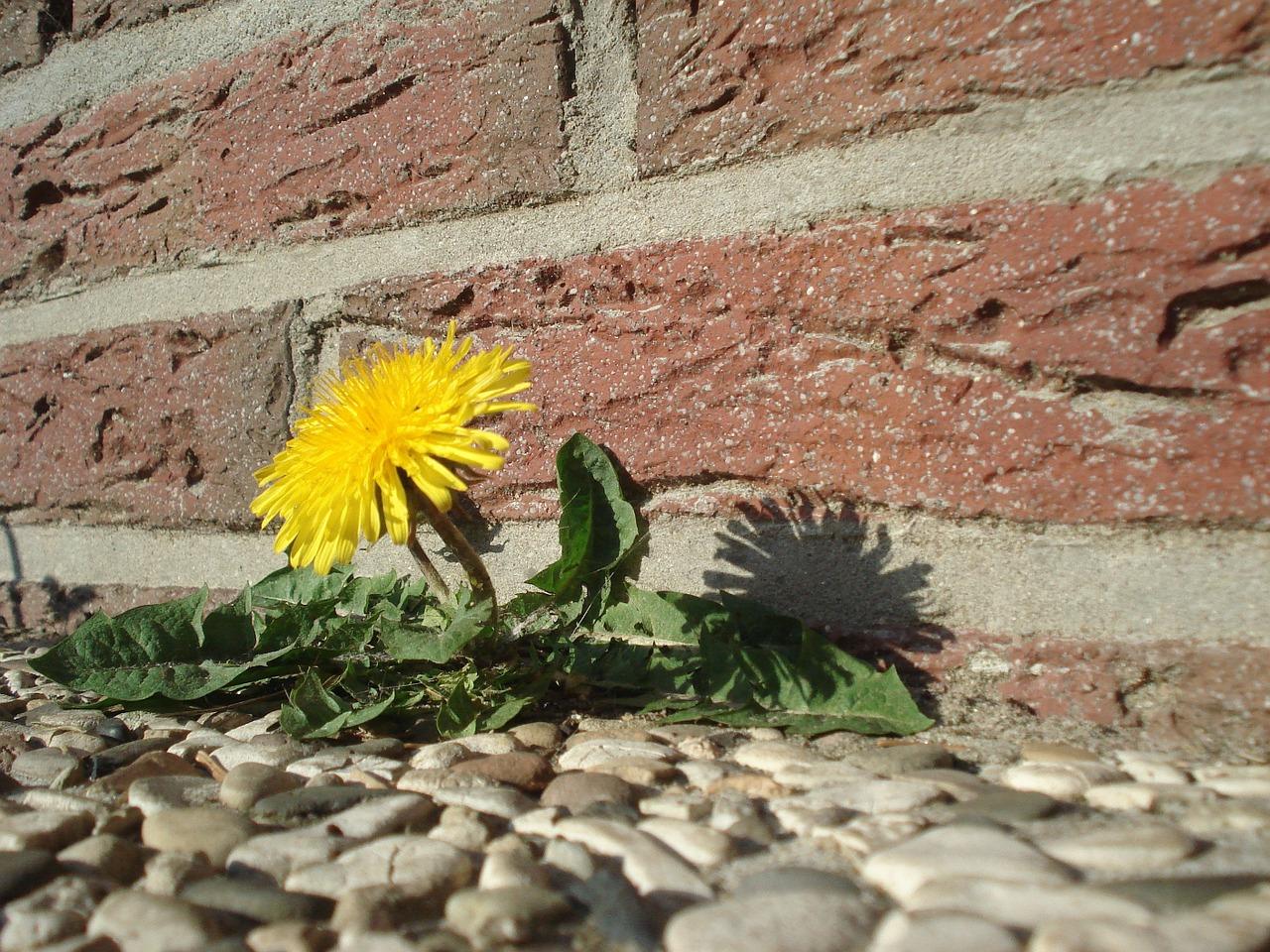 Kako ukloniti maslacke s travnjaka Uredenje travnjaka