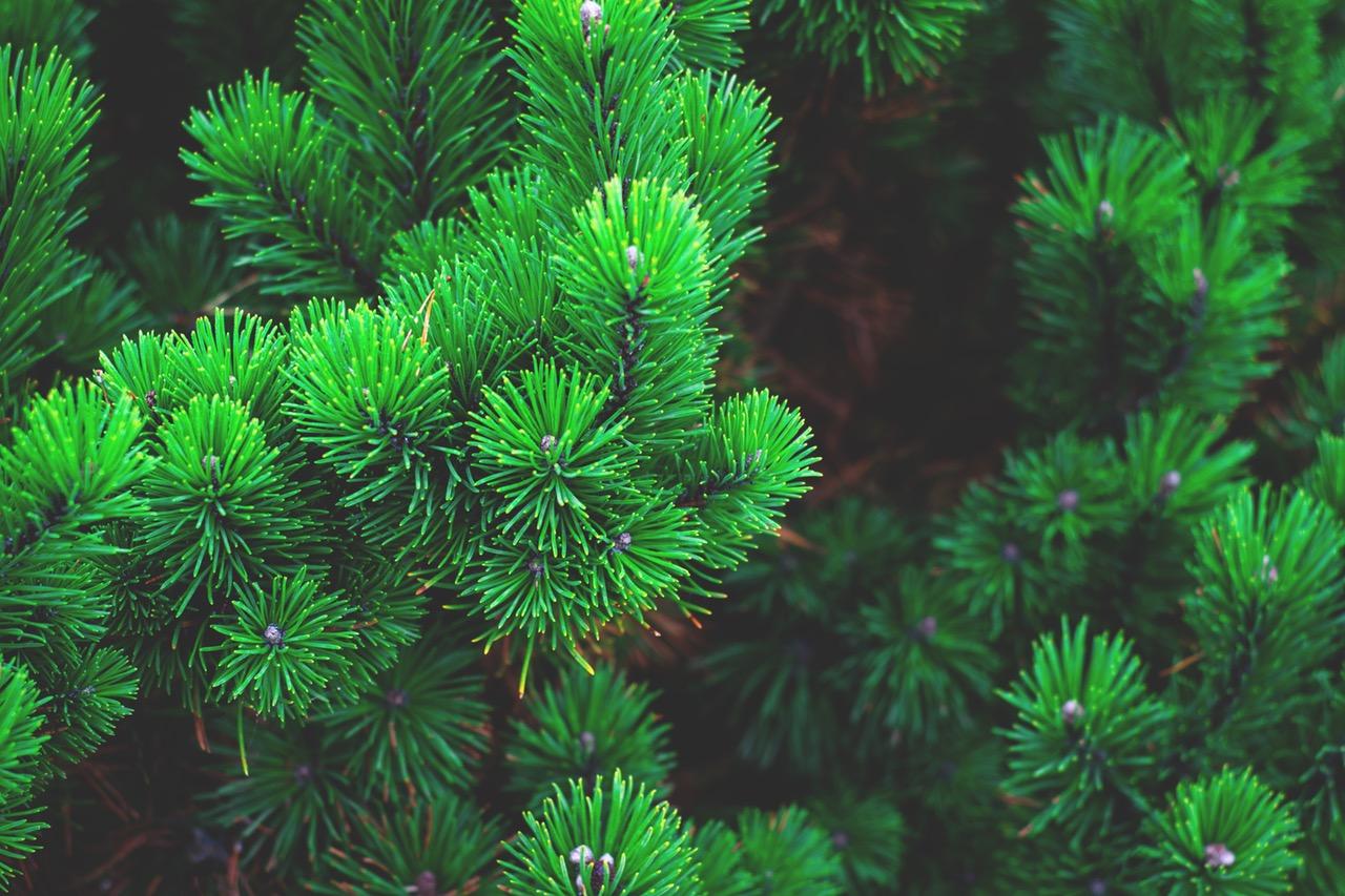 kako-odabrati-i-zasaditi-bozicna-drvca-da-traju-godinama