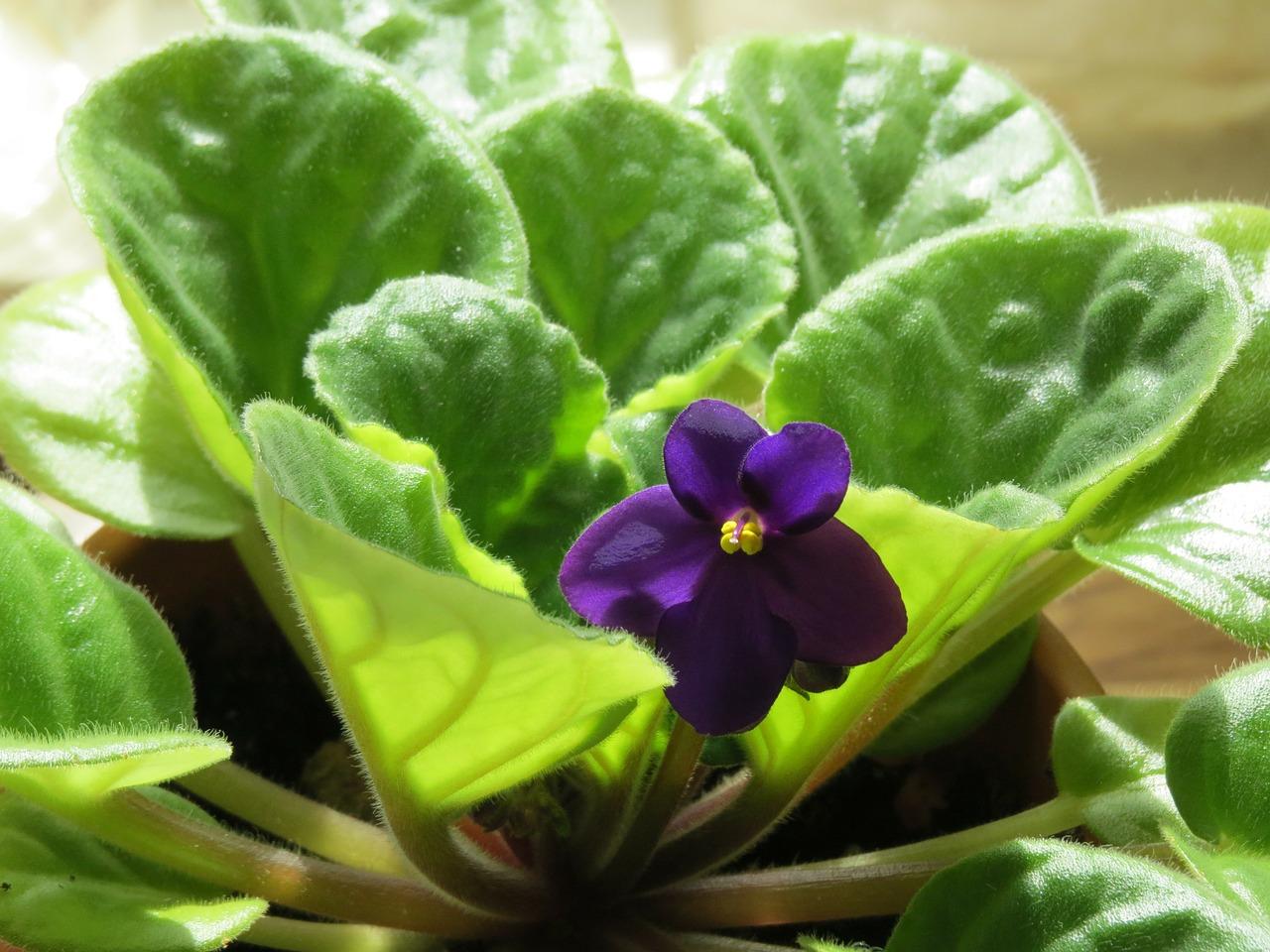 kako-posaditi-uzgojiti-i-njegovati-cvijet-africke-ljubice-saintpaulia-kako-hr