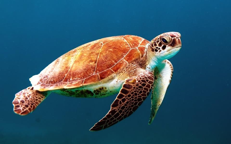 kako-razlikovati-razne-vrste-kornjaca-kako-hr