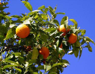 uzgoj stabla naranče-kako-hr